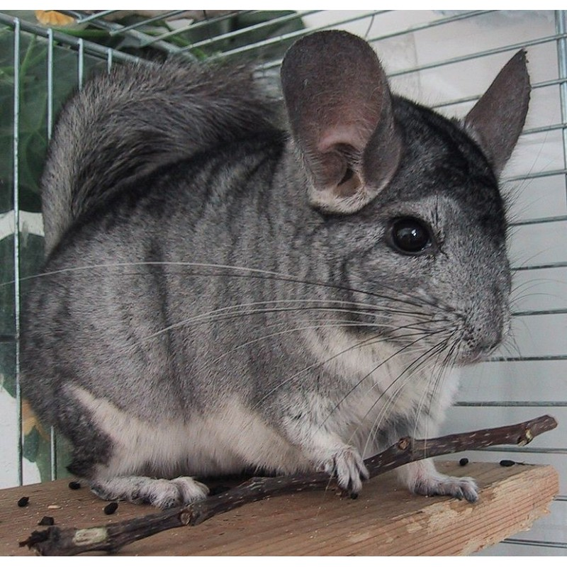 Chinchilla gris domestica (chinchilla langiera