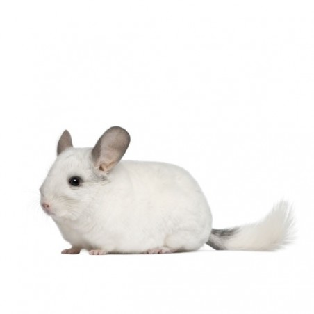Chinchilla blanca domestica (chinchilla langiera